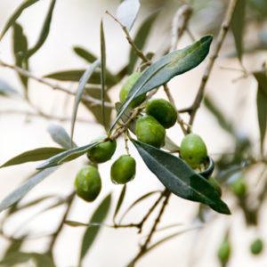 olive beo sicilia olio extravergine