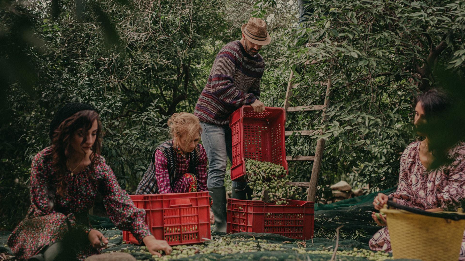 raccolta olive beo sicilia