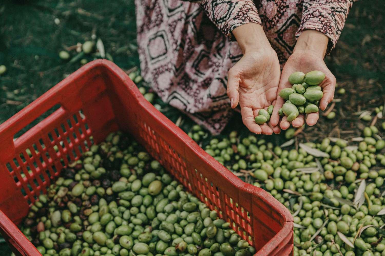 raccolta olive beo sicilia olio extravergine valle alcantara