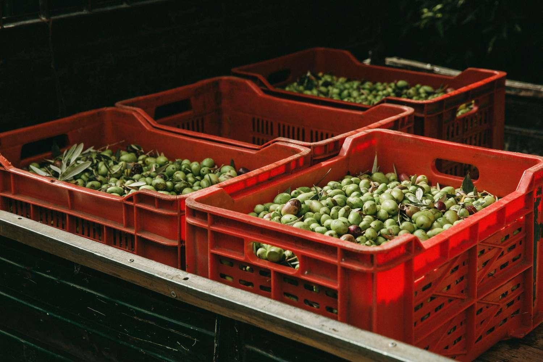 raccolta olive beo sicilia olio extravergine